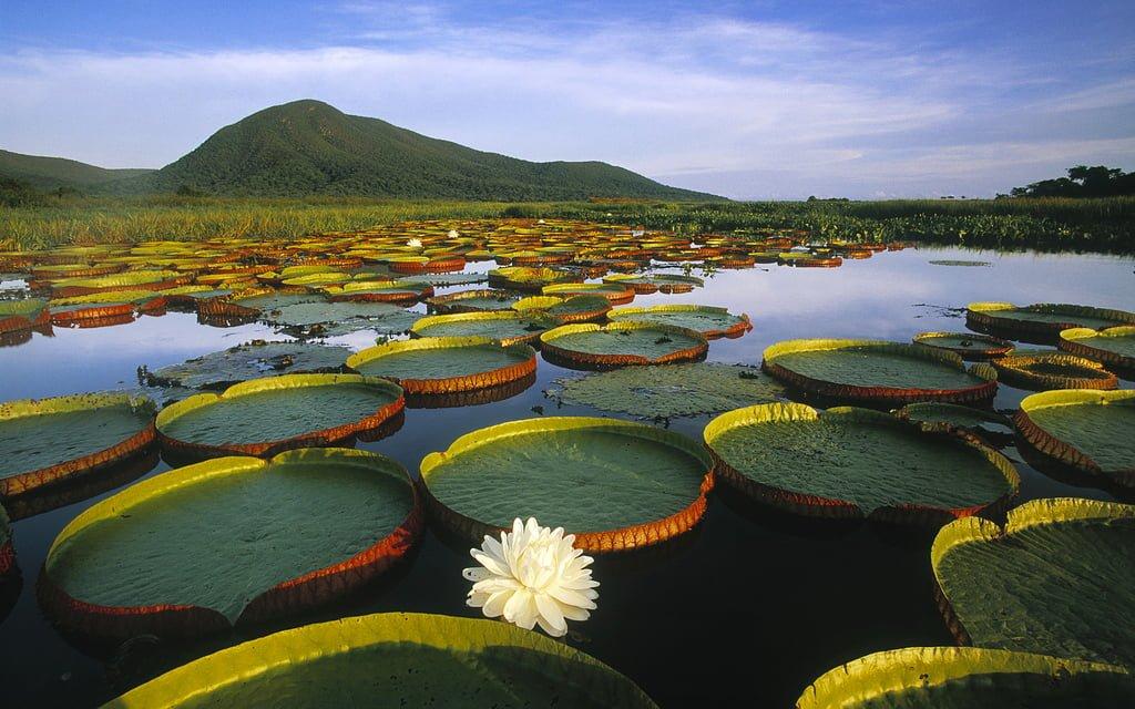 Flora característica de algunos pantanos de agua dulce.